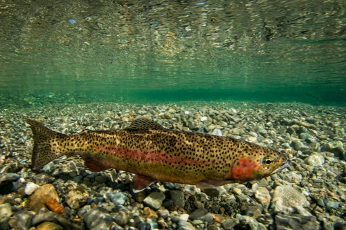elk-river-rainbow-trout.JPG